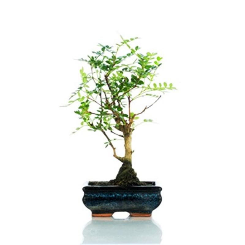 Pepper - 22_pepper-base-bonsai-bomboniera.jpg
